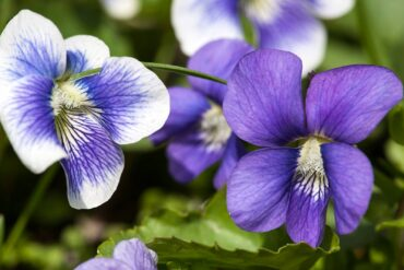 Violet flowers can be eaten raw and add a bit of color to a salad. You can also candy them or turn them into jelly. (Photo courtesy J. Lodder)