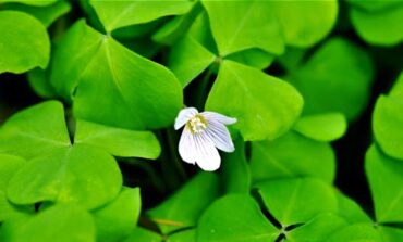 Wood sorrel makes a great sauce for use with salmon. (Photo courtesy Langdon Cook)