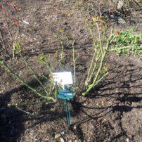 'Violet's Pride,' Feb. 20, high pruning
