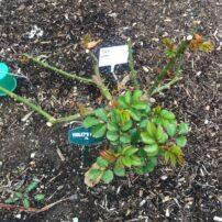 'Violet's Pride,' March 26, low pruning