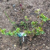 'Violet's Pride,' March 26, high pruning