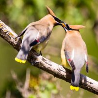 A male cedar waxwing passes a berry to a female during a courtship display.