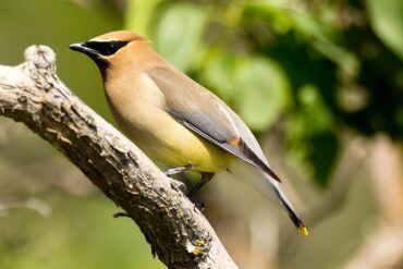 An adult cedar waxwing, showing its colorful plumage