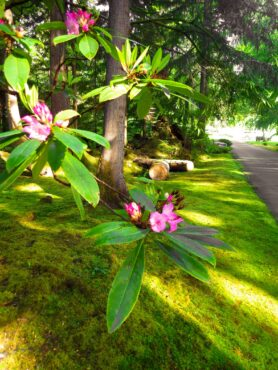 Pacific rhododendron in a heavily mossy garden