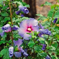 Include summer blooming shrubs like this Blue Satin Rose of Sharon to brighten up the summer garden. (Photo courtesy of MelindaMyers.com)