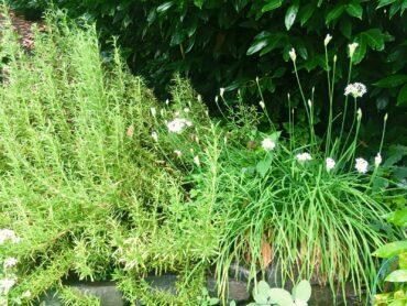 Rosemary and garlic chives