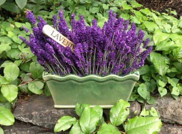 Fresh-cut lavender