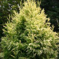 Cryptomeria japonica 'Sekkan'