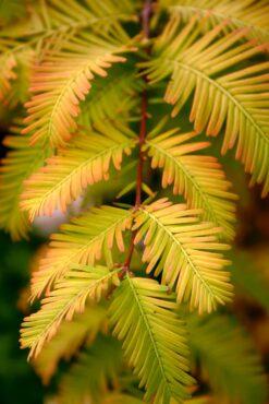 Metasequoia glyptostroboides 'Gold Rush'