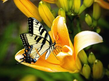 yellow pollinating butterfly